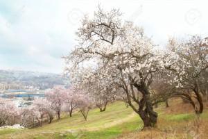 4587870-Blooming-amandier-fleurs-blanc-rose-Banque-d'images
