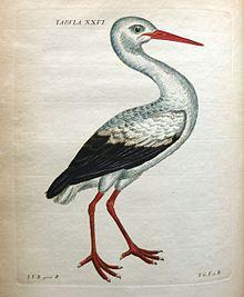Ciconia_alba_Schaeffer_1774